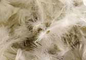 duck-feathers